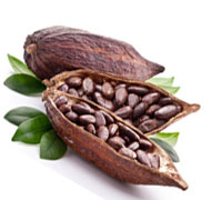 Cocoa/ Cacao/ Chocolate bean best prices