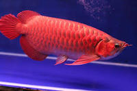 Super Red Arowana Fish Available on sale