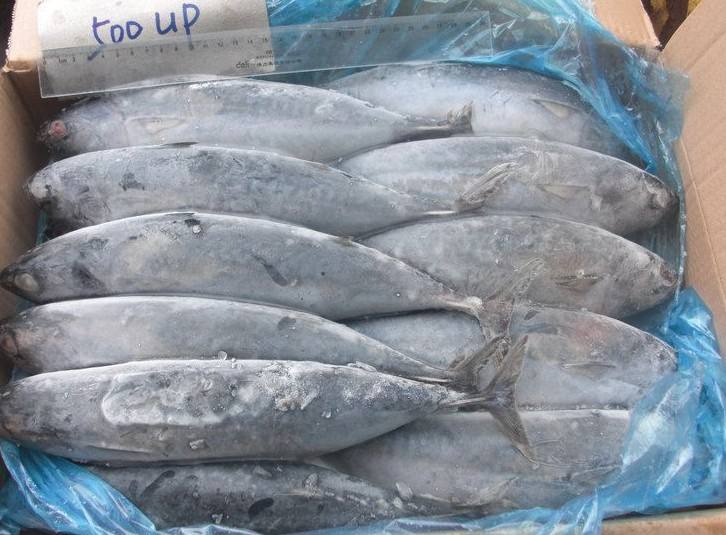 Frozen Whole Bonito Tuna Fish