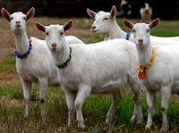 Live Goat, sheep, Lamp Ram for sale at very good prices
