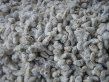 High quality and low price cotton seeds