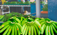 FRESH BANANA/ GREEN BANANA/ CAVENDISH BANANA HIGH QUALITY FROM ECUADOR
