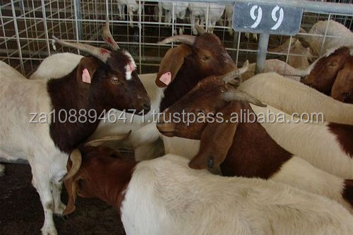 Merino Sheep,Live Deer/ Live Donkey / Live Goat and Pig for sale