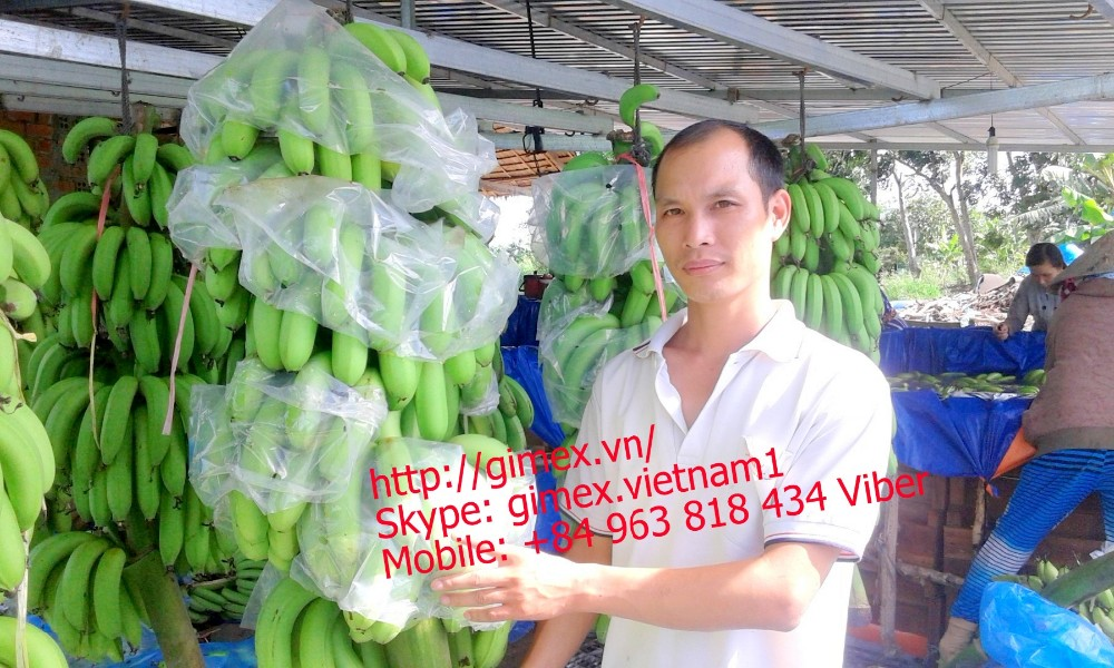 green cavendish banana / +84963818434 Whatsapp