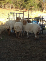 Live & Healthy Awassi sheep For Sale