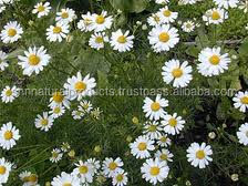 Chamomile Oil Flower Extract