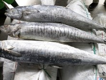 Spanish Mackerel / King Fish