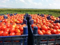Cheap Red Farm Harvested Tomatoes