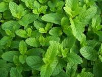 low price Organic Herbal Extract Fresh Mint Leaves Extract, Mint Flavor Powder for sale