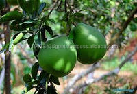 supplier export fresh fruit large quatity cheapest price green pomelo 2015