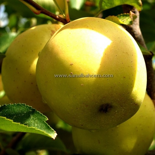 Golden Smoothe Apple Fruit Tree