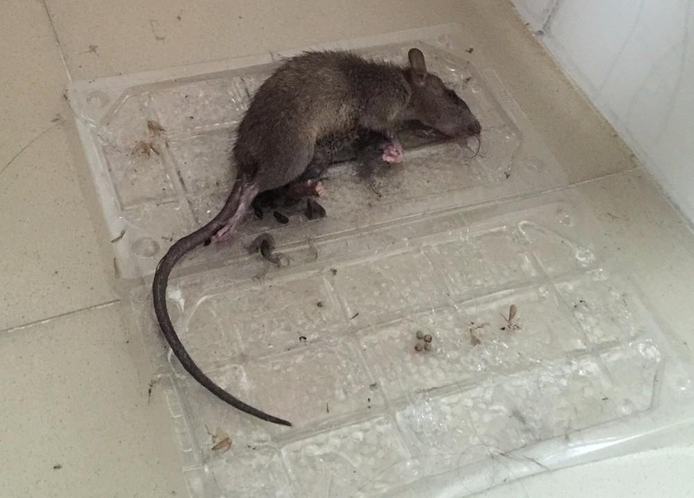 all pest control glue trap rat glue lizard tray rat trap. Black Bedroom Furniture Sets. Home Design Ideas