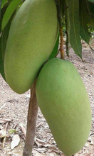 FRESH MANGO-TROPICAL FRUIT