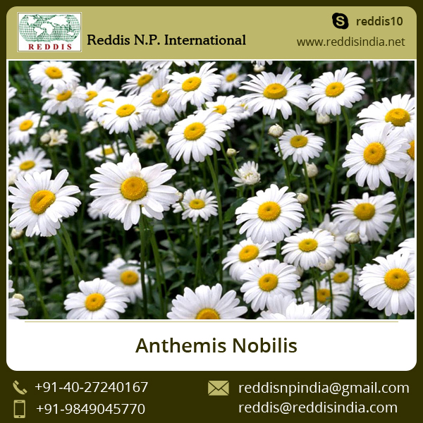 Anthemis Nobilis / Roman Chamomile Flowers for Sale