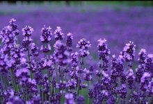 100% Natural and Pure Lavender Oil