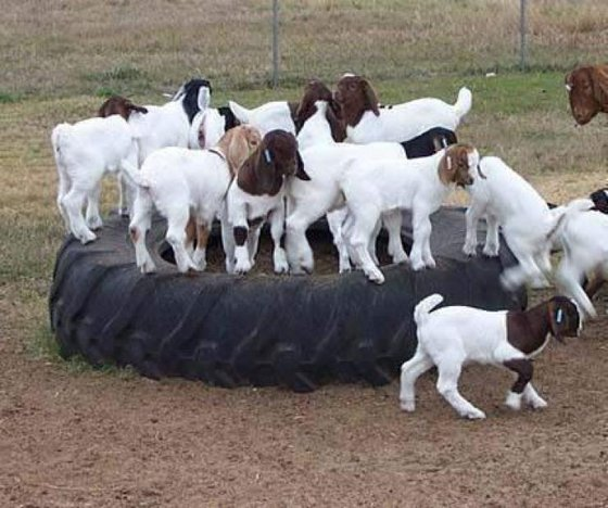 Best Live Boer Goats, Sheep and Cows and Nubian goats for sale