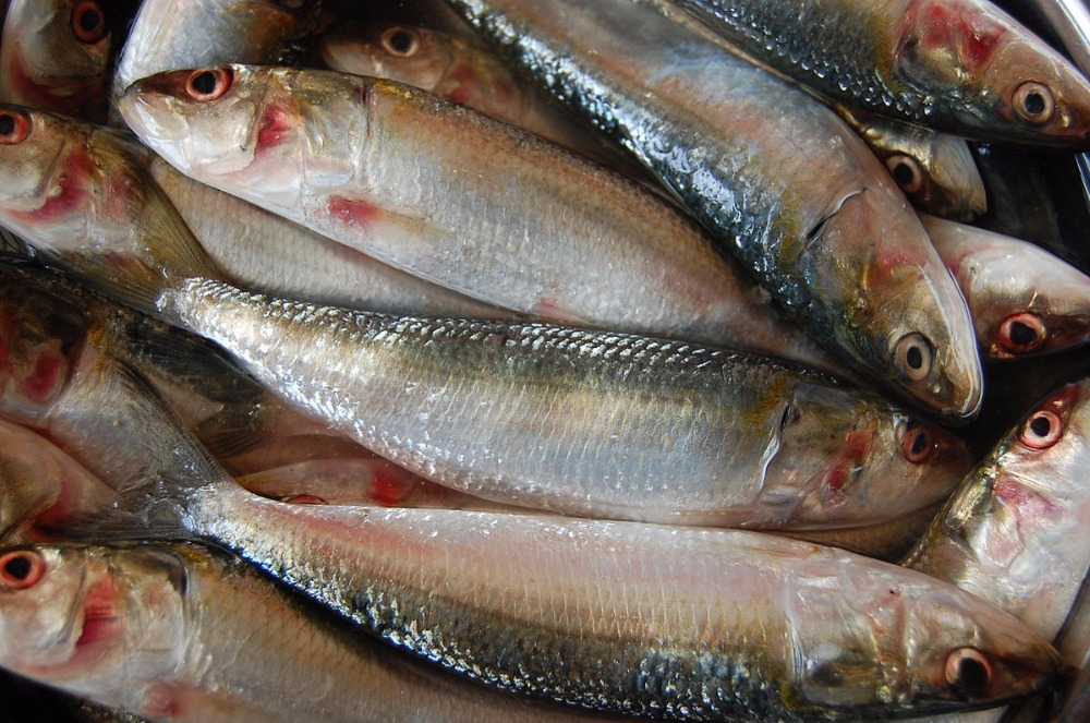Fresh Frozen Sardine Fish by Leading Sea Food Exporter