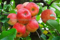 Top good taste fuji apple fruit supply all year at cheap prices offer from Thailand