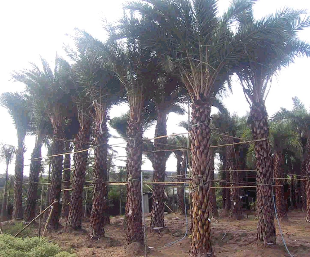 PALM TREES MINI DATE PALM PALNT
