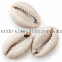 natural cowrie shells for jewelry manufacturers, art and crafts and interior decor