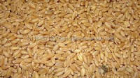 High Quality Pearl Barley / Hulled Barley / Barley Malt
