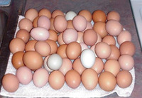Fertile chicken hatching eggs for sale