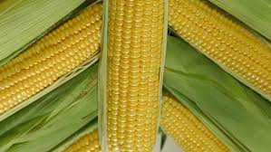 Best Quality White /Yellow Corn/Maize For Animal Feed