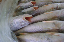 Best Quality Frozen Yellow Croaker Fish For export