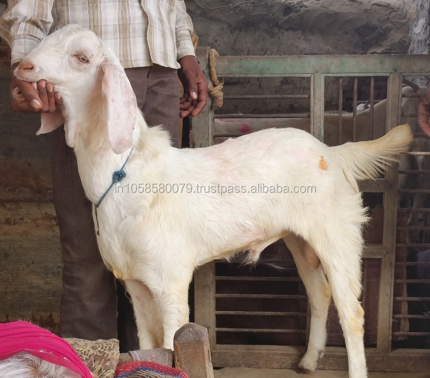 BEST QUALITY BEAUTIFUL WHITE SOJAT KIDS LIVE GOAT FARMING