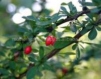 Barberry 100% Pure & Natural Extract