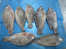 Frozen Tilapia whole round (BROKEN AND DAMAGED)