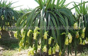 AGRICULTURE DRAGON FRUIT IN VIETNAM