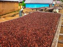 organic cacao|cocoa beans|nibs|pods from farm low price