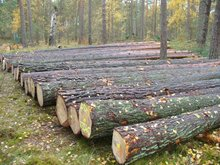 Best quality Pine Logs for sale
