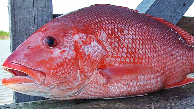 Frozen Red Snapper Fish - Delicious Seafood