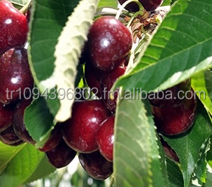 Famous Turkish Cherry