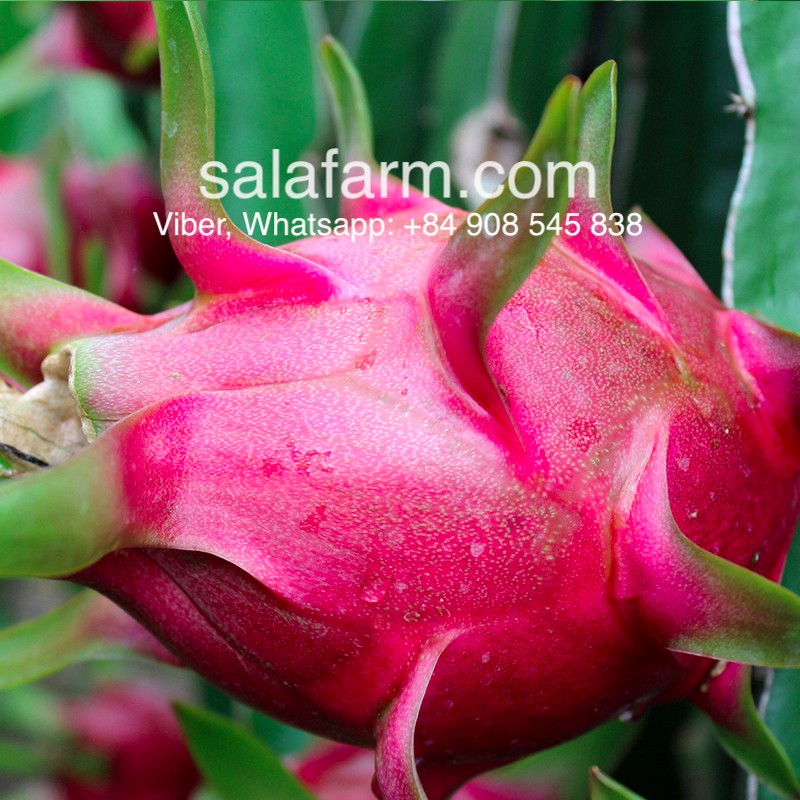Dragon fruit & dragon fruit price in Vietnam, 0,7-1,4 usd/kg