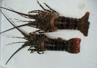 H_Wholesale cheap price Classic Fresh Slipper Lobster in Viet Nam