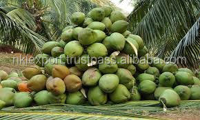 Coconut Farming in the Pollachi