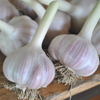 Purple-White Fresh Natural Garlic For Sale Best Prices