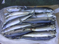 Good Priced Frozen Horse Mackerel, Red Snapper, Salmon Whole Round Fish