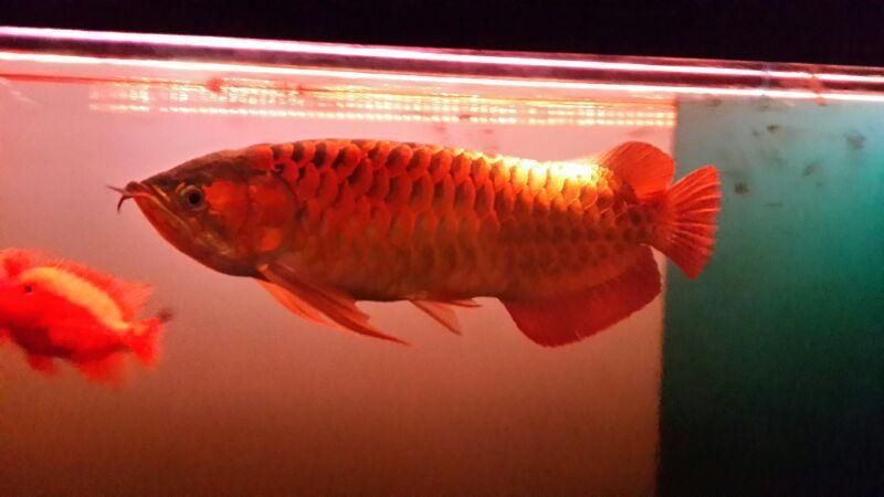 Super Red Arowana fishes of any type and many others for Sale