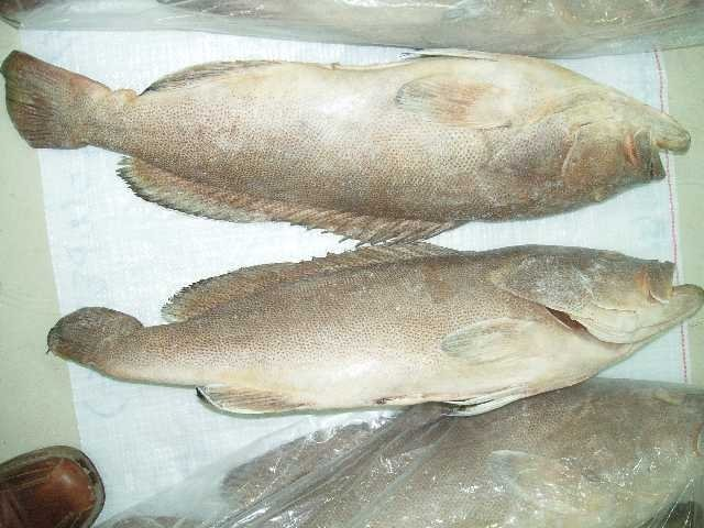 Frozen Grouper Fish for sell_ White Spotted Grouper_Fresh Grouper Fish