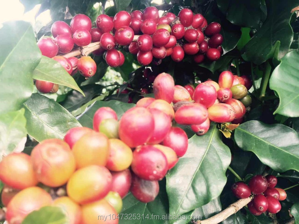 Natural Cambodian Arabica Coffee Beans