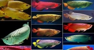 Quality asian arowana fishes for sale