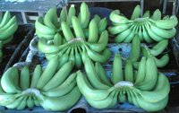 Wholesale Prices From Ecuador for Fresh Cavendish Bananas