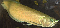 Grade AAA Asian Arowana fish at competitive prices