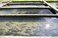 Hatchery probiotics to improve survival rate in grow out ponds