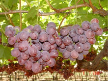 new high quality red globe grapes fresh grapes price