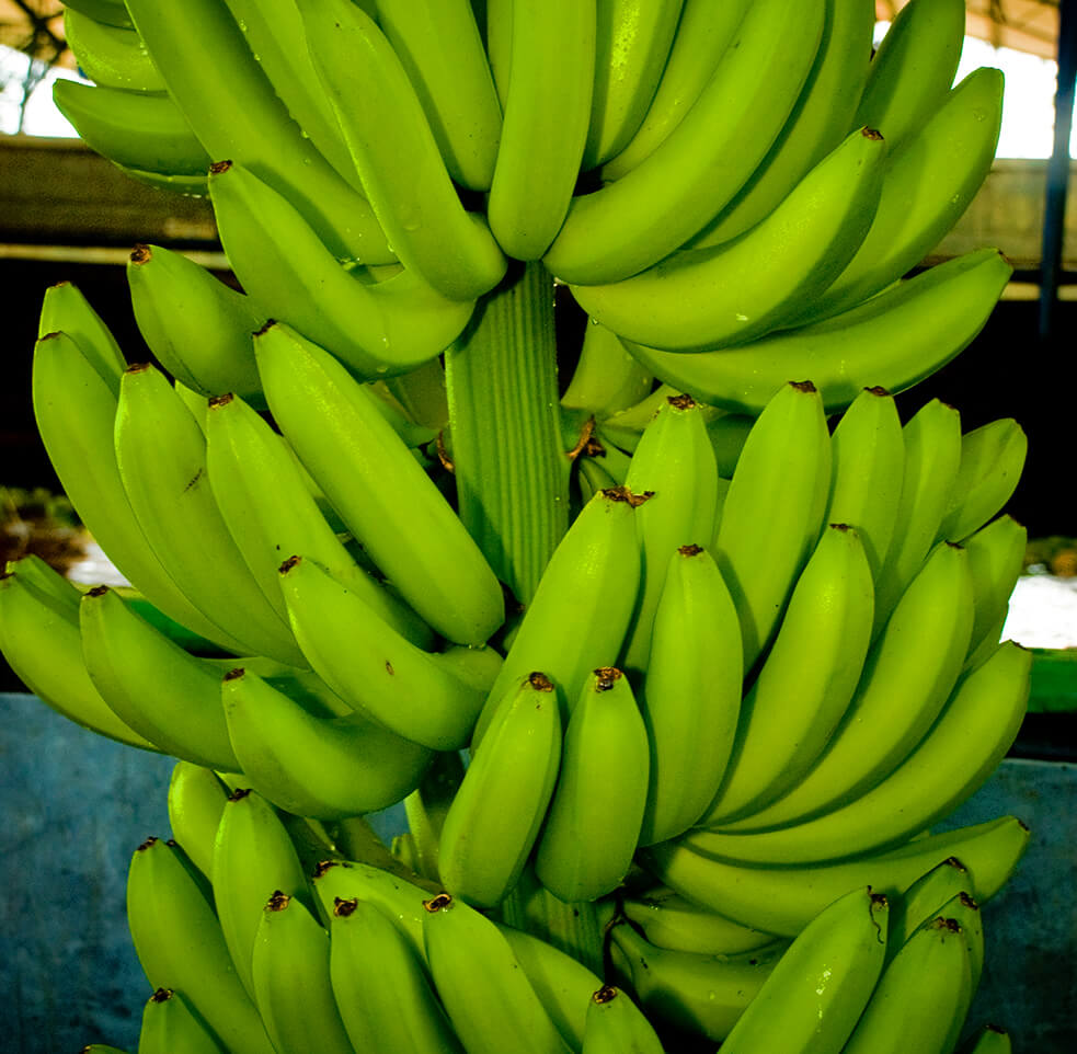 Premium Quality Fresh Cavendish Banana
